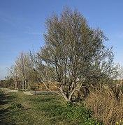 37. Vegetació a l'Ullal de Baldoví (Parc Natural de l'Albufera, País Valencià).jpg