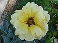 4473 - Bern - Rosengarten - Rose.JPG