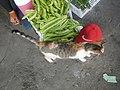 9935Black tortoiseshell and white cat portraits in the Philippines 19.jpg