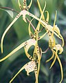 A and B Larsen orchids - Brassia maculata 636-10z.jpg