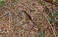 A brown shrike (Lanius cristatus) spotted at Madhurawada.jpg