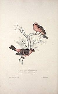 Spot-winged rosefinch species of bird