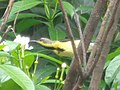 A contented yellow sunbird, unperturbed about life.jpg