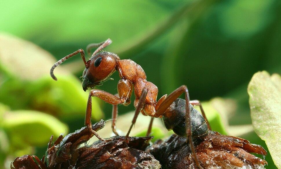 A formica rufa sideviewmirror