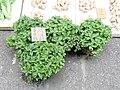 A mint leaves in Yuen Long.jpg