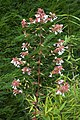 Abelia grandiflora B.jpg