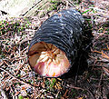 Abies amabilis cone Rainier.jpg