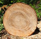 Abies grandis cross section cropped.jpg