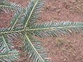 Abies grandis zampach1.JPG