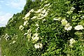 Abundant hedgerow - geograph.org.uk - 854297.jpg