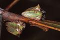 Acacia Horned Treehopper (23718641535).jpg
