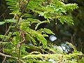 Acacia concinna (5595829322).jpg