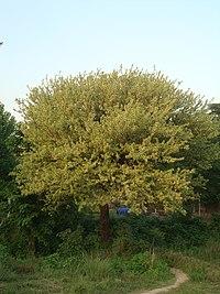 Acacia modesta