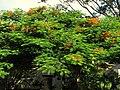 Acacia roja - Flamboyán (Delonix regia) (14278625585).jpg