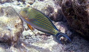 Description de l'image  Acanthurus lineatus 2 - no watermark.jpg.