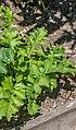 Acanthus hungaricus in Jardin des 5 sens (1).jpg