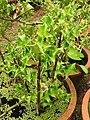 Acanthus ilicifolius-3-JNTBGRI-palode-kerala-India.jpg
