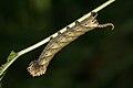 Acherontia-Kadavoor-2016-06-23-001s.jpg