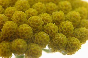 Achillea ageratum - flower heads
