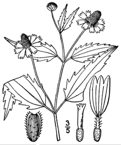 Acmella oppositifolia repens drawing.png