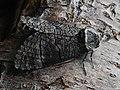 Acossus terebra ♀ - Древоточец осиновый (самка) (42987627975).jpg