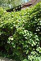 Actinidia-chinensis-ashoka-pflanze.jpg