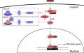 Activation mechanisms of CAR.png