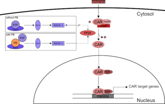 Constitutive androstane receptor - Figure 1 - Activation mechanisms of CAR: Inactivated CAR is retained in the cytosol. Upon binding of TCPOBOP, CAR gets dephosphorylated by PP2A and translocates into the nucleus. Here, it forms a complex with RXR and binds to the PB-responsive enhancer module. Another possibility to activate CAR is the indirect activation through PB. PB binds competitively to EGFR, thus inducing the dephosphorylation of RACK-1. RACK-1 then stimulates PP2A to dephosphorylate CAR, which is then translocated into the nucleus.