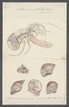 Adamsia palliata - - Print - Iconographia Zoologica - Special Collections University of Amsterdam - UBAINV0274 109 05 0061.tif