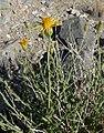 Adenophyllum cooperi 5.jpg
