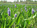 Adirondack pickerel weed.JPG