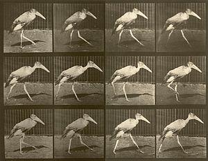 English: Gait of Leptoptilos dubius - photogra...