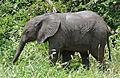 African Elephant (Loxodonta africana) calf (17123893437).jpg