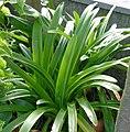 Agapanthus Plant 2404px.jpg