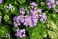 Ageratum houstonianum Blue Puffs 6zz.jpg
