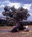 Agrigento-120-alter Oelbaum-1986-gje.jpg