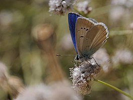 Agrodiaetus actis - Anatolian Navy Blue butterfly 01.jpg