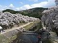 Aiga Cherry blossom trees.jpg