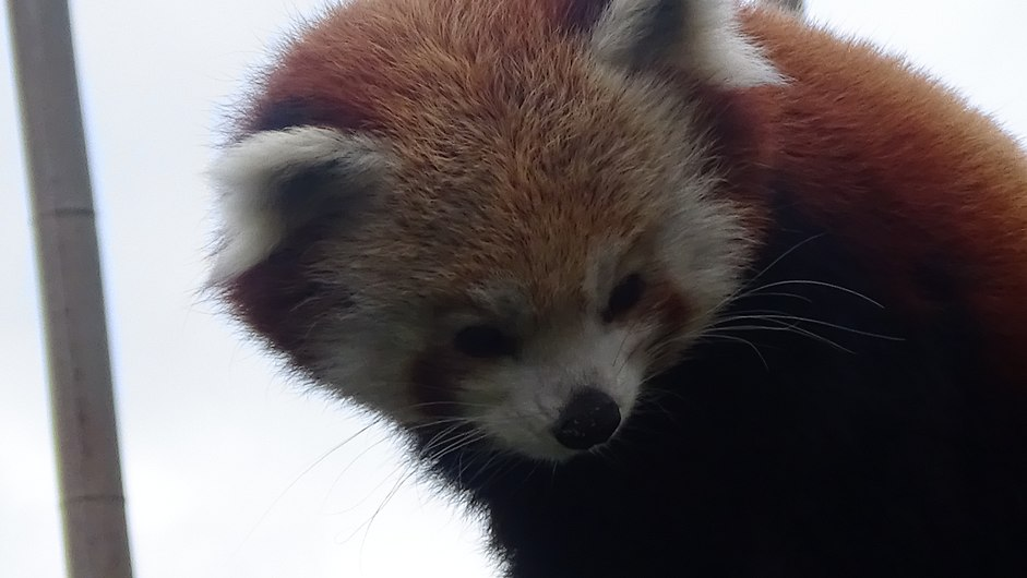 Ailurus fulgens - Panda roux - Firefox - Ménagerie Paris 07.JPG