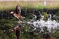 Aix galericulata -Bushy Park, Terenure, Dublin, Ireland -male-8.jpg