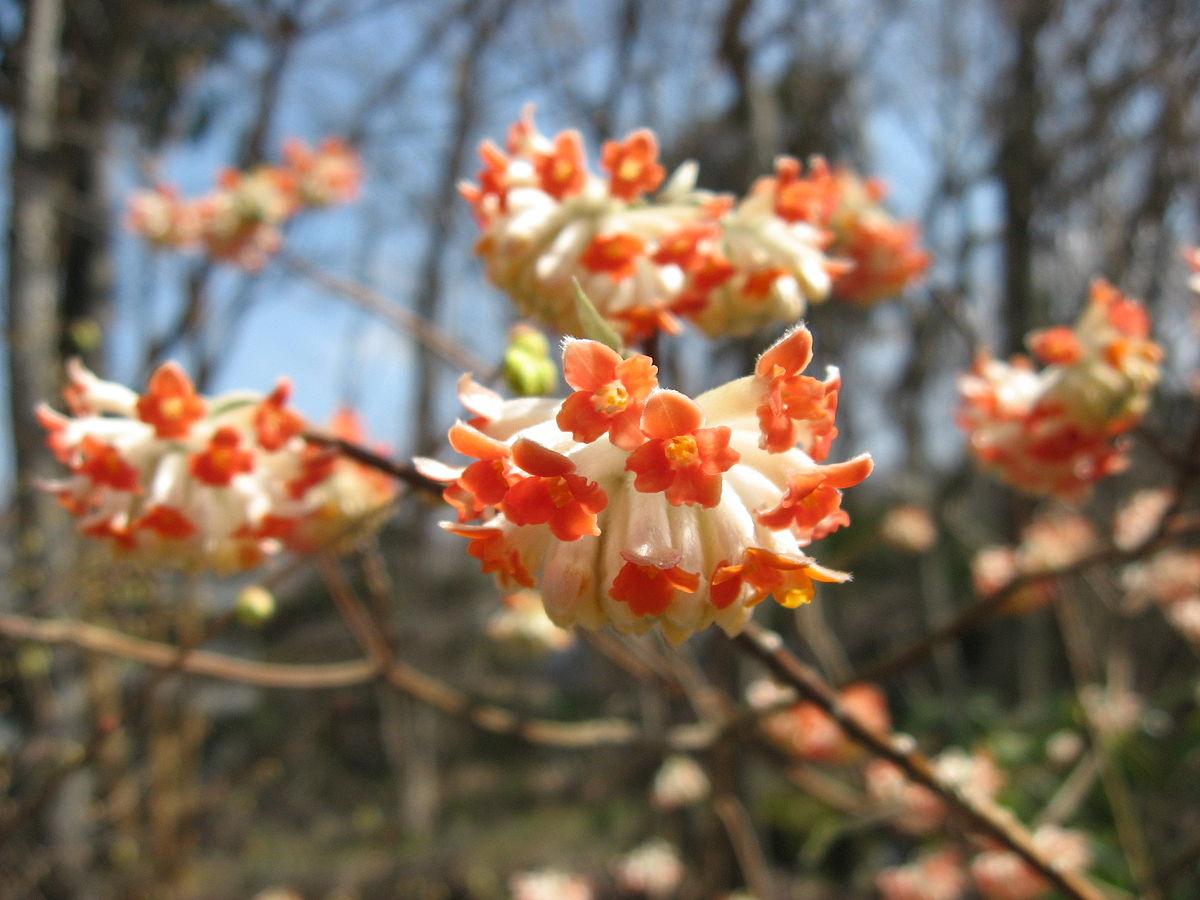 Edgeworthia wikipedia for Edgeworthia chrysantha
