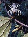 Alangium Salvifolium 09.JPG