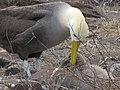 Albatross birds - Espanola - Hood - Galapagos Islands - Ecuador (4871724254).jpg