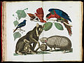 Albertus Seba - Molucca Opossum, Didelphis molucca and Armadillo, Tolypeutes matacus - Google Art Project.jpg