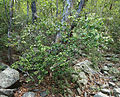 Alchornea ilicifolia.jpg