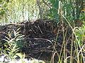 Alligator Nest at Shark Valley, NPSPhoto (2) (9103752836).jpg