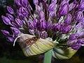 Allium aflatunense 2016-05-17 0727.jpg