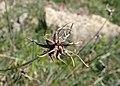Allium carinatum kz01.jpg
