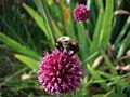 Allium macro 1.jpg
