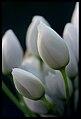 Allium neapolitanum.jpg